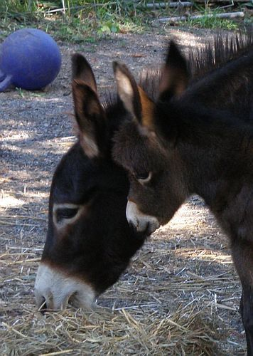 Little Friends Izalco. Courtesy: The Little Friends Ranch, Almo, KY (USA).