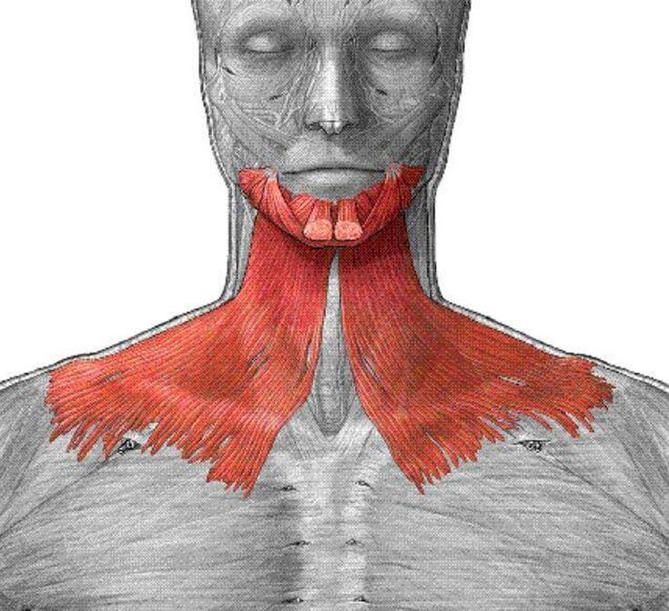 Экология жизни. Здоровье и красота: Сегодня я расскажу про одну удивительную мышцу нашего тела – подкожную мышцу шеи (плятизма). Она многим отличается от
