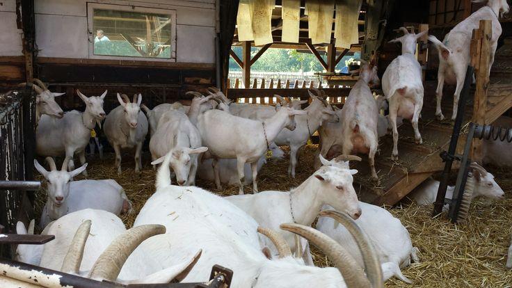 Geiten van Geitenboerderij Ridammerhoeve  (Amsterdamse bos)