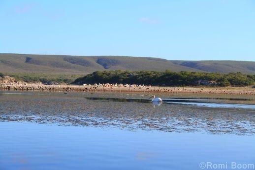 De Hoop vlei pelican