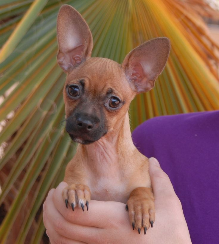 Aria likes to snuggle under your chin when you're laying down.  When you return home, she jumps up and down in joy, like on a pogo stick, until you greet her.  Aria is a precious baby girl, a Chihuahua puppy, 4 months of age, now spayed and debuting for adoption today at Nevada SPCA (www.nevadaspca.org).  Since her rescue Aria has been lovingly raised & socialized in a foster home with cats, dogs, and kids.  She is terrific with everyone, as long as they don't try to steal her favorite bed.