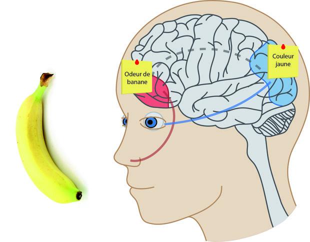 Le cerveau: le faire connaître aux enfants (Activités pour le cycle 3) | Le site de la Fondation La main à la pâte