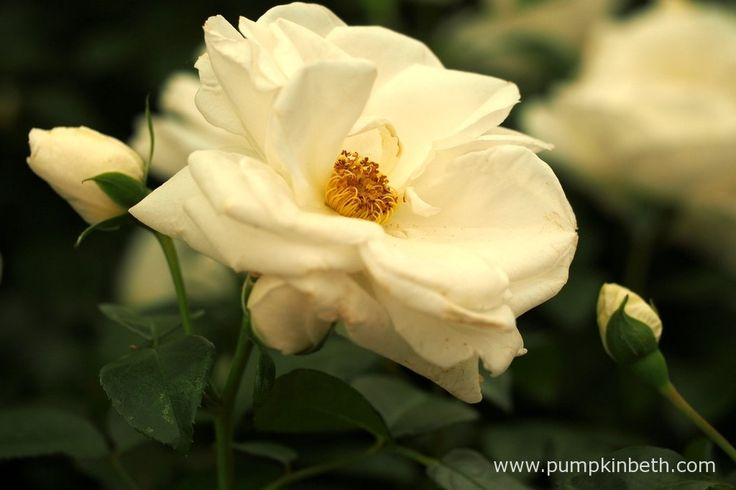 Rosa 'Little Angel'.