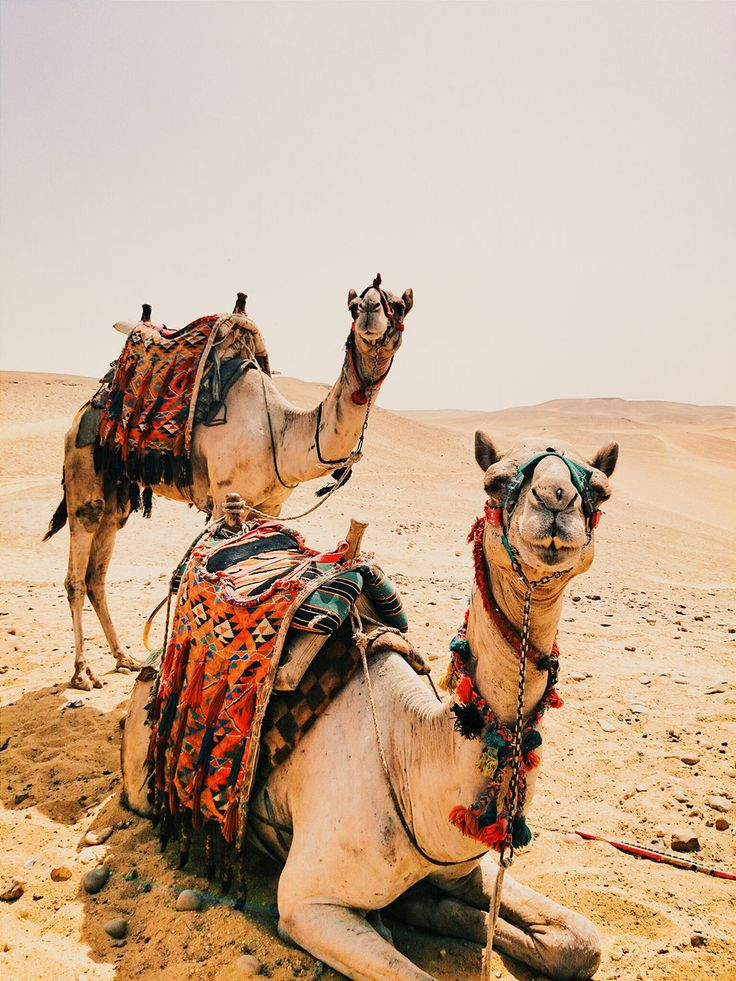 Despite popular belief, a camel's hump stores not water, but fat - about 80 pounds of it. With this energy supply on its back, camel can go several days without eating. As it goes through the fat store, the hump shrinks and gets flabby. It gets firm again after the animal refuels.