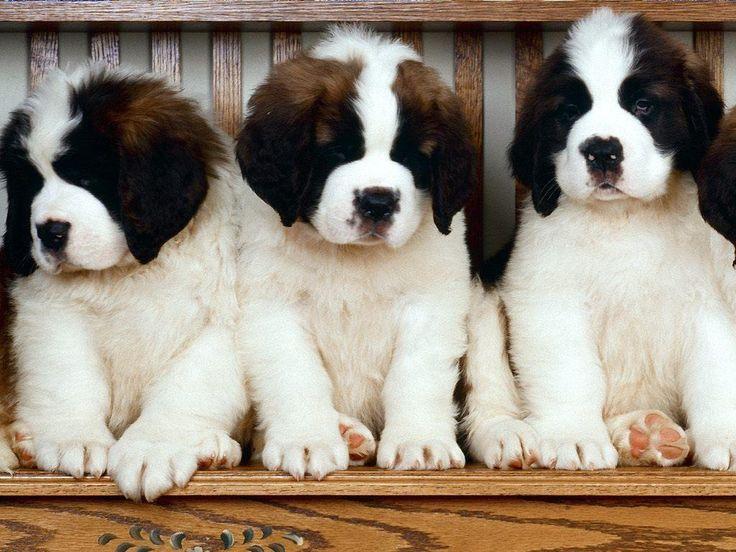 Saint Bernard Pups ❥