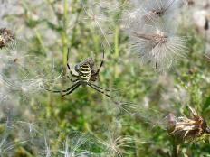 Wisi pająk