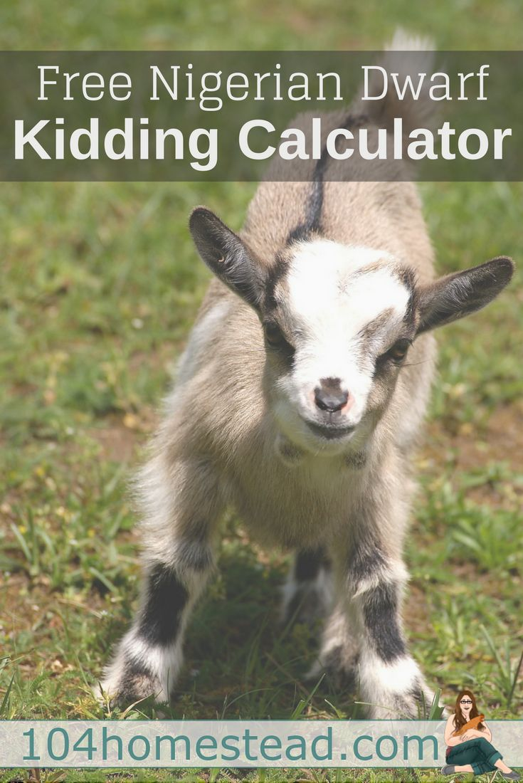 A free calculator for figuring out the estimated due date/kidding date for Nigerian Dwarf breed goats.