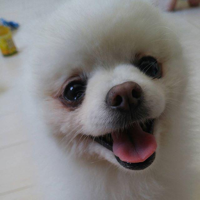 にこにこ笑顔のラムちゃん。  #smiledoganniversary #人と犬愛犬笑顔の日 #フォトコン参加します #マイベーグルわたしの癒し #私のリラックスタイム #美肌 #パルクレール  #Pomeranian #ポメラニアン #愛犬 #癒し #dog #わんこ #🐩 #🐶