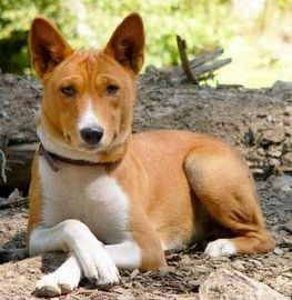 Rare dog breed: Telomian. Sitting like a gentleman.