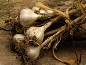 Add zest to your cooking by growing garlic.