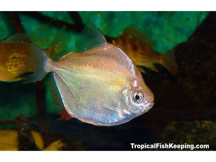 22 best silent movies images on pinterest for Painted glass fish