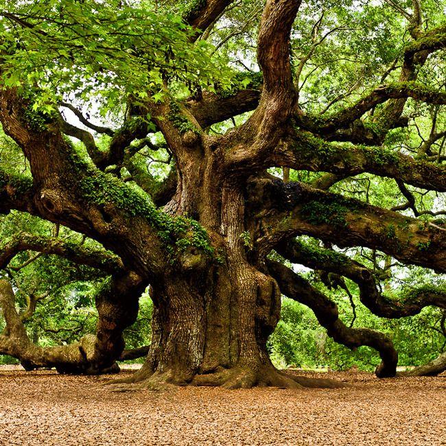25 metre boya ve 2 metre gövde çapına erişebilen Meşe Ağacı, eski Yunan mitolojisinde Zeus'un ağacı olarak kabul edilir, kahinler rüzgarda ağacın yapraklarından çıkan sesleri dinleyerek gelecek hakkında bilgi verirlerdi. Eski Roma'da ise Meşe Ağacı, Jupiter'e adanmış bir bitkidir.#seminfo