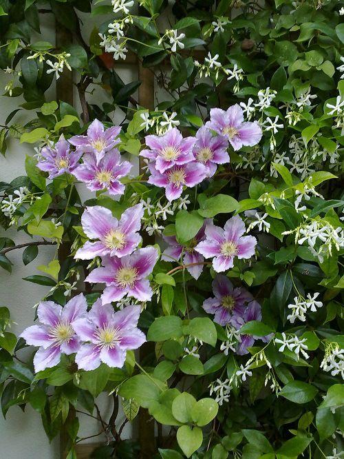Clematis and  Trachelospermum jasminoides