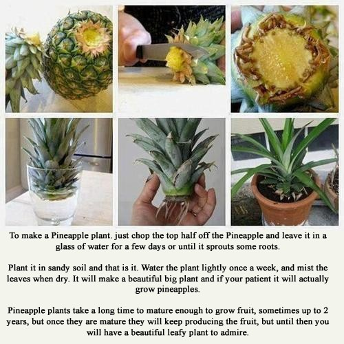 Grow a pineapple plant from your leftovers...  *~<3*Jo*<3~*
