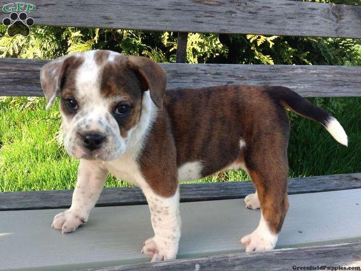 Beabull Puppy=Beagle + English Bulldog