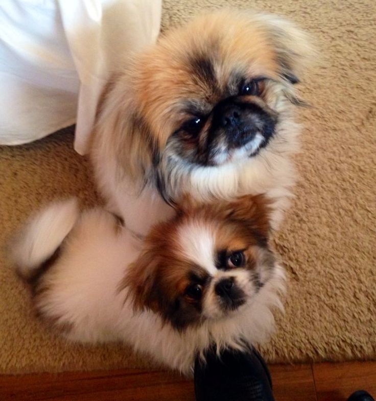 Bubbles, the Peke, and her new younger sis
