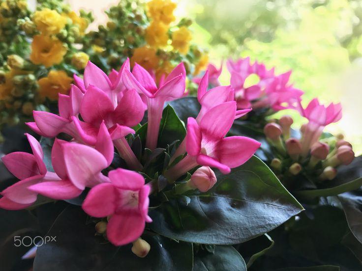 Colorful flowers - Yellow Kalanchoe, pink Bouvardia.