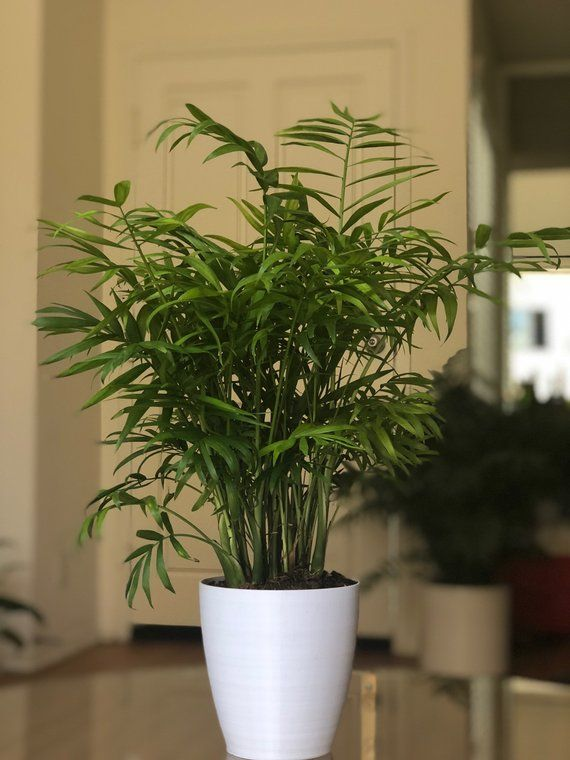 Bella House Plant on holly house plant, willow house plant, angel house plant, chelsea house plant, lily house plant, little boy house plant, watermelon house plant, jasmine house plant, baby house plant, amelia house plant, rose house plant,