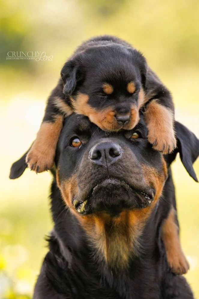 Rottweiler Puppy and Mamma…