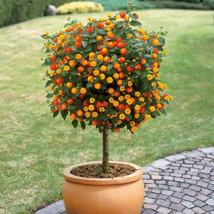 Wandelröschen, Lantanen-Stämmchen, 1 Pflanze online kaufen bei Ahrens+Sieberz