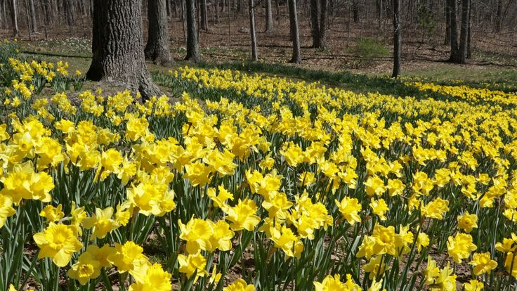 Daffodils in Hubbard Park Meriden Connecticut [1920 x 1080][OC] Need #iPhone #6S #Plus #Wallpaper/ #Background for #IPhone6SPlus? Follow iPhone 6S Plus 3Wallpapers/ #Backgrounds Must to Have http://ift.tt/1SfrOMr