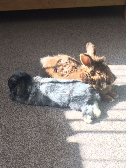 Hazel is in her new home and happily bonded with her husbun.  A far cry from being locked alone in a tiny cage terrorised by the family dog #bunnybuddies  #ahutchisnotenough Photo courtesy of Pawz For Thought rescue