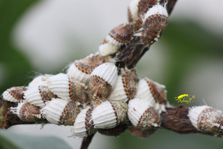 Cochinilla Acanalada es una de las peores plagas de los cítricos, aquí te mostramos un método para eliminarlas que te puede resultar efectivo.