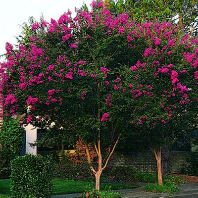 Crape myrtle: signature plant for many hot summer regions. Can be trained as a tree or shrub, easy to grow!