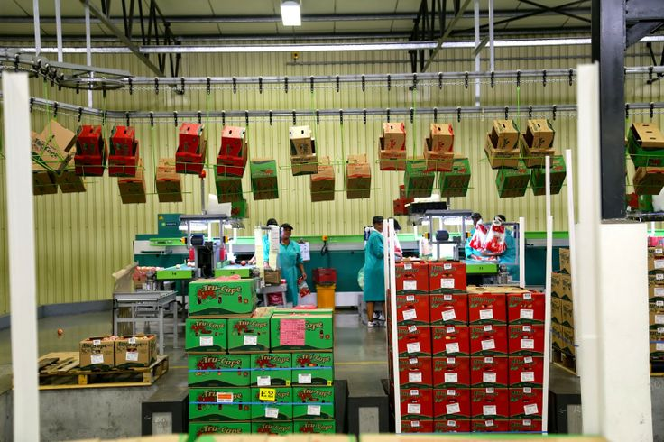 Inside a South African fruit packhouse