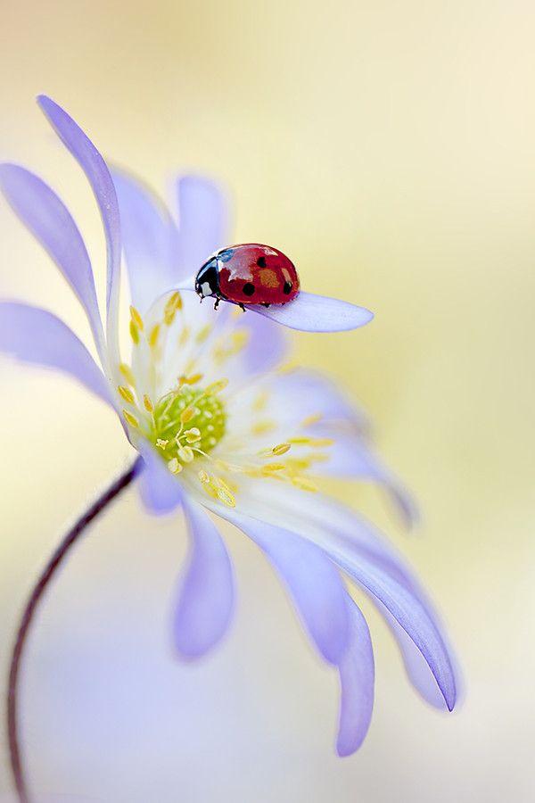 """ൠ LADYBUG, LADYBUG, FLY AWAY HOME... ൠ ~ 500px / Photo """"Lady in Lilac"""" by Jacky…"""
