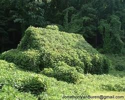 Kudzu - when my parents & I went in search of the remains of my great grandparents' (Brashier) house in Clarke Co, Mississippi (had been destroyed by fire), we found the ruins covered in kudzu - waist to chest high.