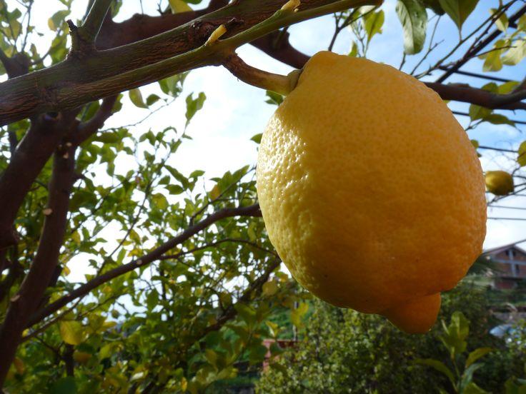 limoni profumatissimi...