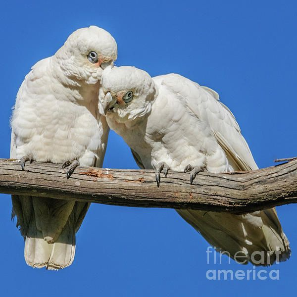 Little Corellas (Cacatua sanguinea or, translating the Malay and the Latin, wise old men)