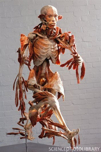 """""""The Runner"""", Bodyworlds exhibit. Amazing, amazing exhibition!    """"What a piece of work is a man""""  ~William Shakespeare"""