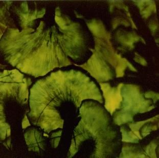 Omphalotus olearius Jack-O-Lantern mushroom, Tom Volk's Fungus of the Month for October 1997, showing bioluminescence created by luciferase