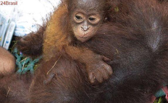 Bebê orangotango se recusa a abandonar sua mãe durante operação de resgate