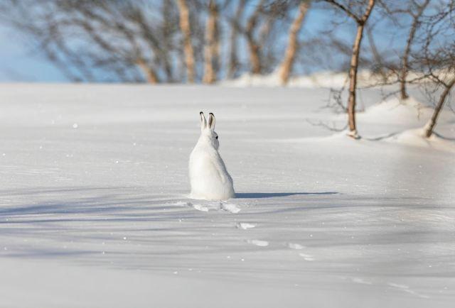 Skogsharen sjunker inte i djup snö och kommer lätt åt mat från träden.