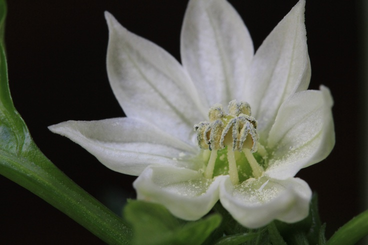 Uploaded to PinterestPaprika Flower