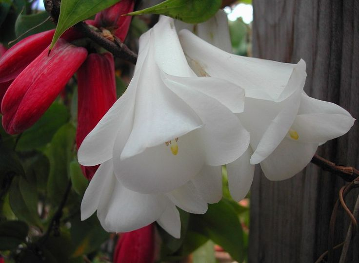 Lapageria rosea - white form - Chilean Bellflower