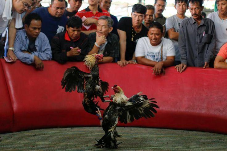 A cockfight - Ardan News