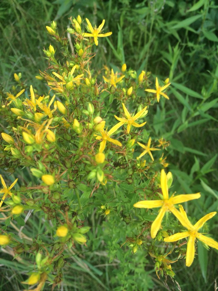 I found a nice patch of shrubby St. John's Wort near Austerlitz not far from New York's border with Massachusetts and on state forest land.