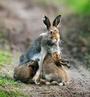 Äitijänis lapsineen/ Mother rabbit with her babies. @ Esko Pitkänen / One of the best in the annual Finnish nature photo competition in 2013.
