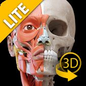 Мышечная система - 3D - Lite