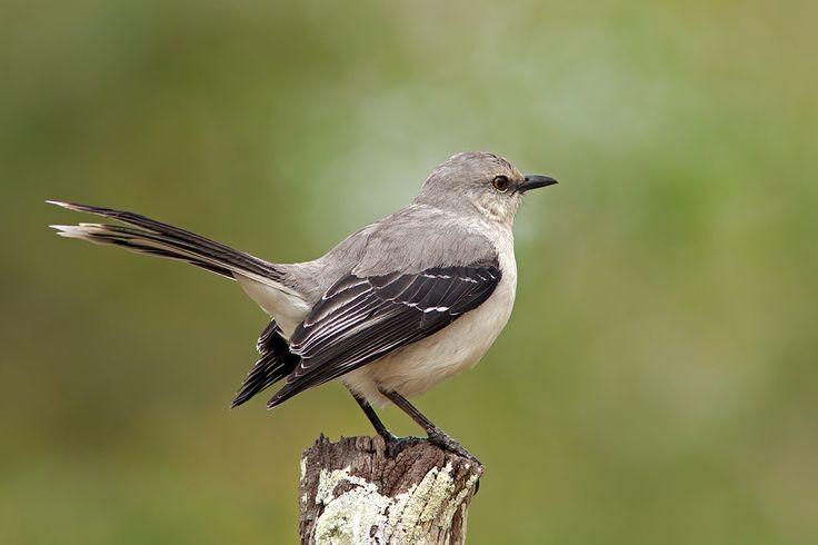 tropical wildlife | Tropical Mockingbird - Crooked Tree Wildlife Sanctuary - Belize ...