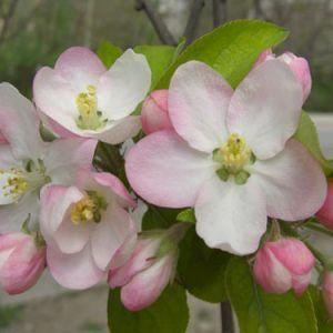 Изготовление цветов из ткани. Яблоня цветущая