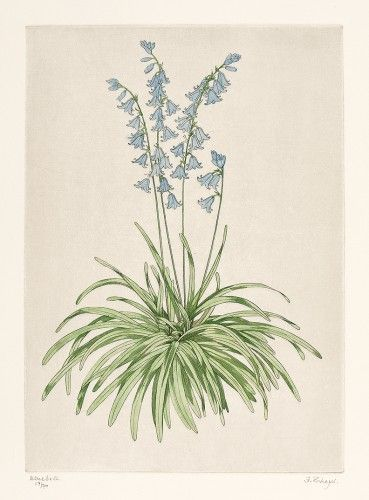 THEYS, Freddy. Bluebell.  Original hand-coloured copper-engraving, signed by the artist, edition 17/70 #botanical #etching