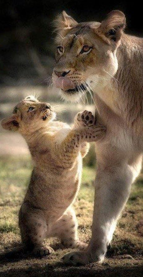 Lioness with cub - Tender moment