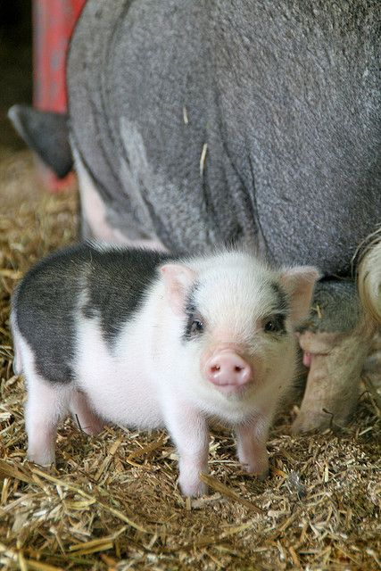 Sweet baby piglet - think I'd give up meat if I had to look at this sweet face all the time.