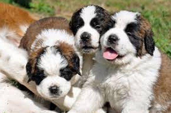 cachorros san bernardo recien nacidos - Buscar con Google