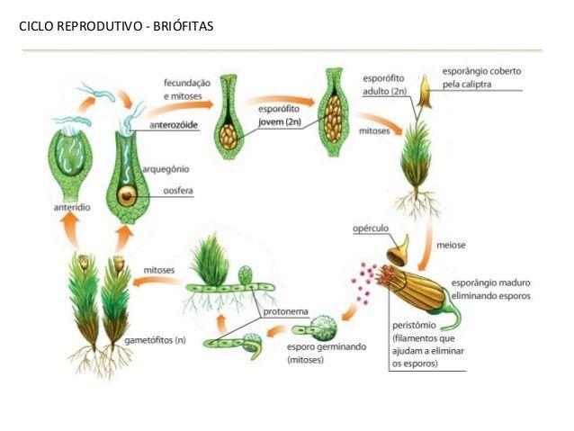 Ciclo Reprodutivo Briofitas Com Imagens Plantae Reino